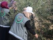 صور.. تيار الإصلاح الديمقراطي ينظم يوما تطوعيا لجني الزيتون شمال القطاع