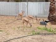 مواطن من غزة يحوّل جزءًا من بيته حديقة لتربية غزلان الريم الصحراوية