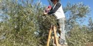 الزراعة تُعلن موعد قطف الزيتون بغزة