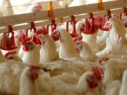 أسعار الدجاج والحـبش اليوم في أسواق غزة