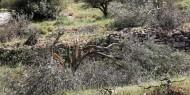 سلطات الاحتلال تقطع عشرات أشجار الزيتون في سلفيت
