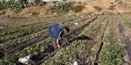 الزراعة بغزة تكشف عن قيمة الخسائر التي لحقت بقطاع الصادرات الزراعية والأسماك