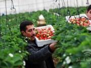 الضفة تستقبل بواكير إنتاج غزة من محصول الفراولة