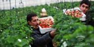 الزراعة الإسرائيلية توقف استيراد الفراولة من قطاع غزة