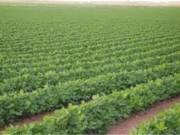 غزة: توجه لزراعة التبغ نتيجة تراجع أسعار الخضراوات